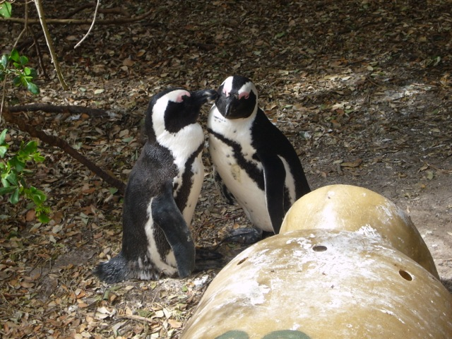 safari-talk-penguins